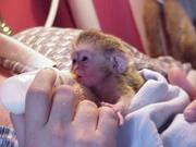 Мужские и женские капуцин обезьян для хорошего дома
