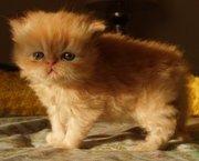 Русские голубые котята availabale