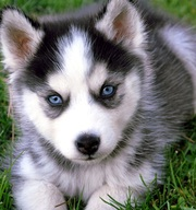Предлагаем щенков Сибирский Хаски2