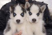 Голубоглазые щенки хаски