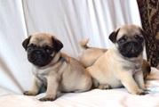 3 Мопс щенки ищут дом