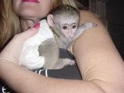 Капуцинов обезьяна  1